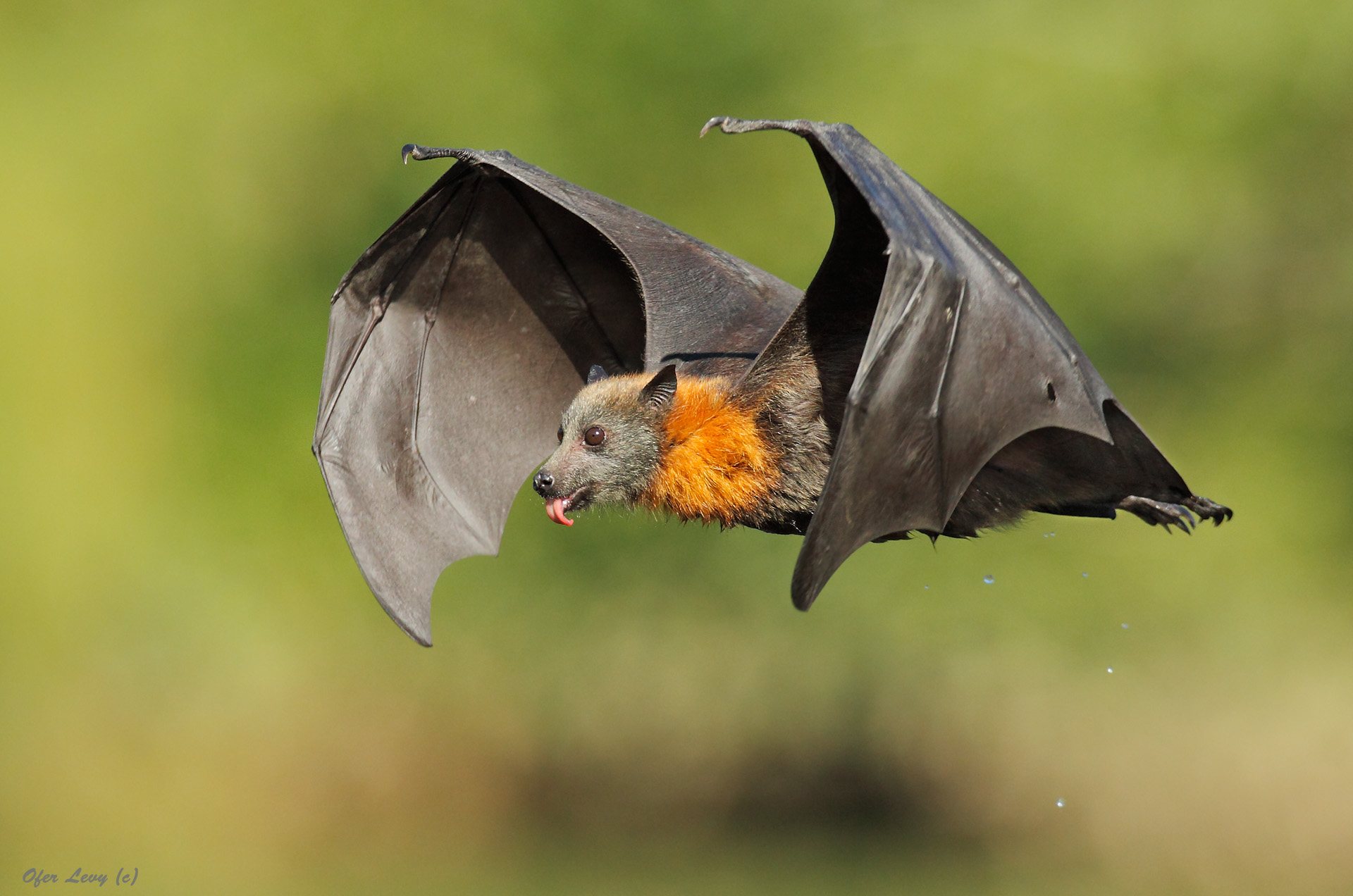 grey-headed-flying-fox-by-ofer-levy-1
