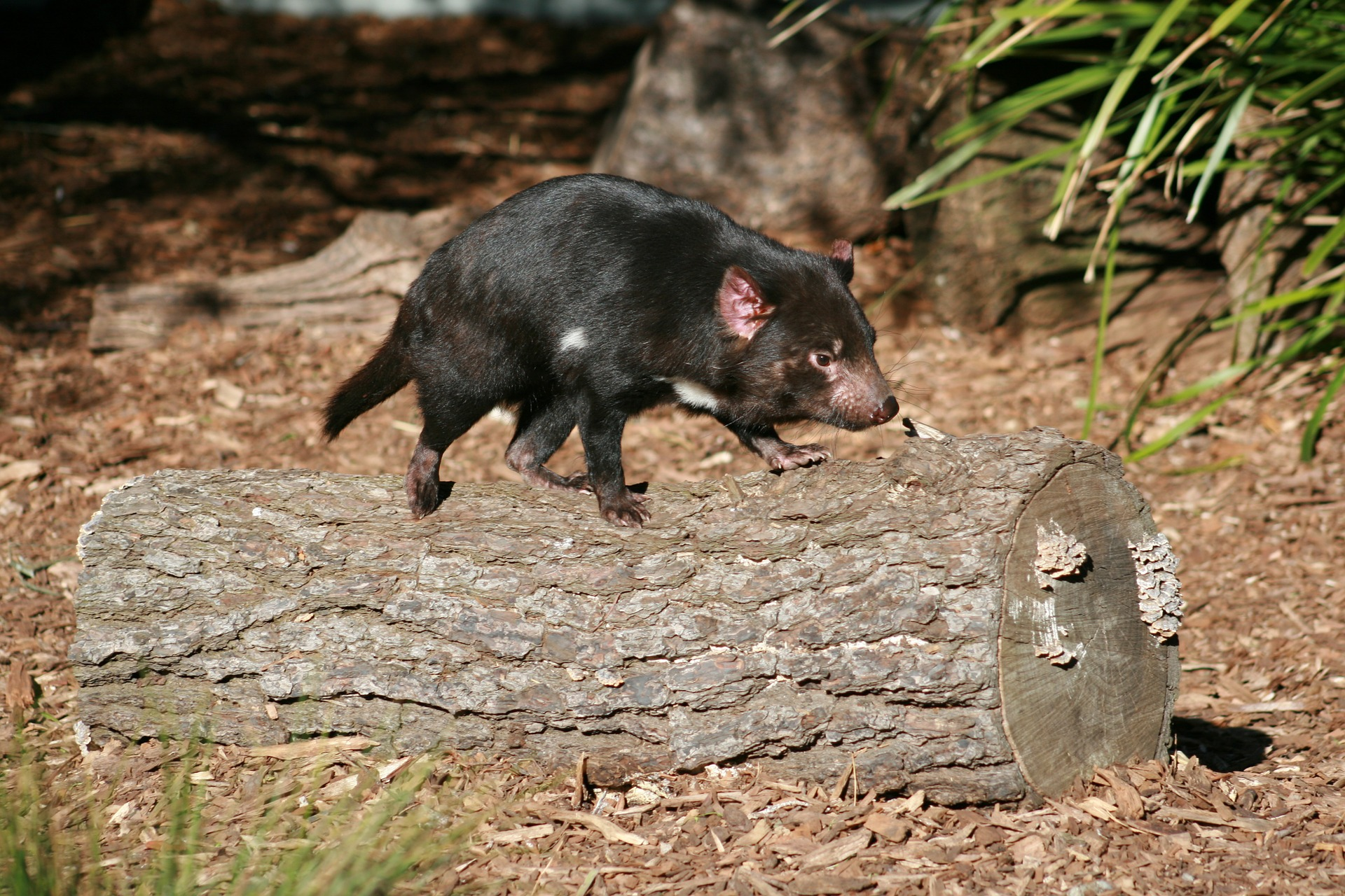 tasmanian-devil-606328_1920